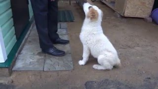 getlinkyoutube.com-Тора - счастливый щенок Алабая 3 месяца