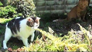 getlinkyoutube.com-【わぁ!蛇だ!威嚇する大きな蛇に猫パンチを連打!】 Cats face a big snake to intimidate!