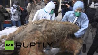 getlinkyoutube.com-RAW: Best-preserved mammoth ever found goes on display in Moscow