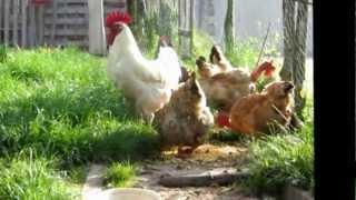 le coq et ses poules