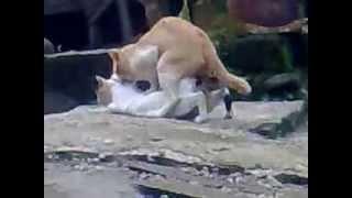 getlinkyoutube.com-kucing kawin