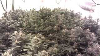 getlinkyoutube.com-Blue Rhino 8000 Watt Flower Room Day 30
