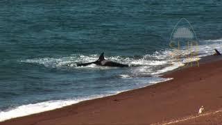 getlinkyoutube.com-IMÁGENES INÉDITAS!!!. Orcas practicando ataques de costa. Patagonia Argentina. SubSur.