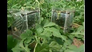 How To Grow A Heart-shaped Watermelon