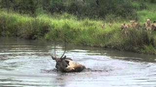 getlinkyoutube.com-Lions swim to get a meal