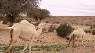 getlinkyoutube.com-Camel Peeing
