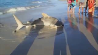 getlinkyoutube.com-TIGER SHARK rare footage - Stranded Tiger Shark is rescued by 3 men