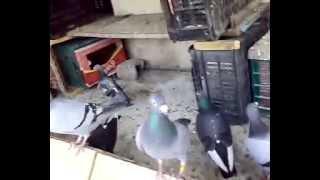 getlinkyoutube.com-Pigeon Maroc 2016