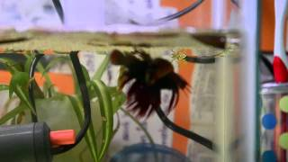 getlinkyoutube.com-Step by step guide to breeding betta fish
