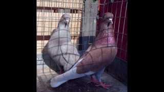 getlinkyoutube.com-My Ruby Roller Pigeons