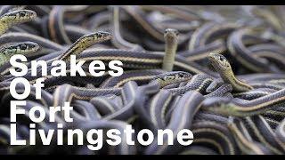 30,000 Snakes of Fort Livingstone