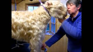 getlinkyoutube.com-Grooming a Soft-Coated Wheaten Terrier in a Show Trim - Part 3