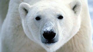getlinkyoutube.com-Dans la peau d'un prédateur : Pôles