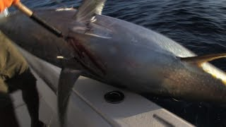 getlinkyoutube.com-Monster Yellowfin Tuna