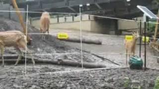 getlinkyoutube.com-電気柵設置事例:北海道旭山動物園.鹿が電気柵に触れる瞬間!
