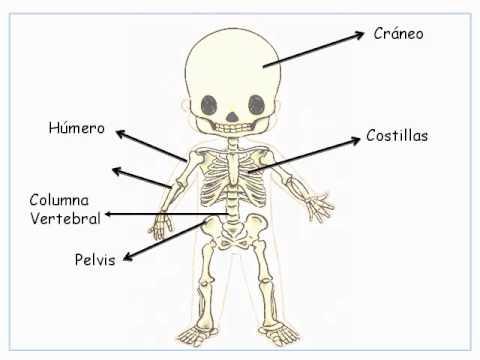 El esqueleto humano para niños de infantil - Imagui