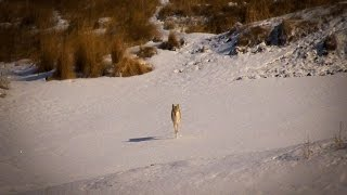 getlinkyoutube.com-North Dakota Coyote Hunting:  Mid-day Kill