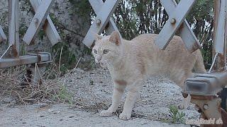 getlinkyoutube.com-2015.7.27 障害?(頭を振る)が見られる猫 cat with disabilitie?【野良猫 観察記】