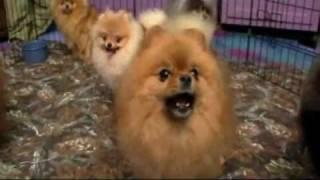 getlinkyoutube.com-Dogs 101: Pomeranian