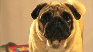 Un perro da su opini�n respecto a unos juguetes