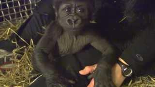 getlinkyoutube.com-Gorillafication of Baby Gorilla Kamina Week 8 - Cincinnati Zoo