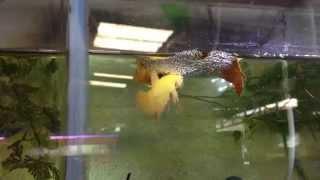 getlinkyoutube.com-การเพาะปลากัดง่ายๆ Breeding Betta ลุงอ๋า Goldenbetta
