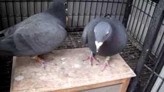 getlinkyoutube.com-Black Racing Pigeons