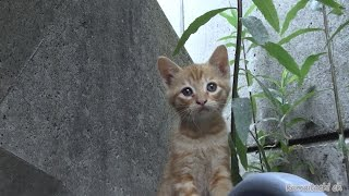 "getlinkyoutube.com-茶トラ。野良猫に生まれて半年間の記録 ""Cyatora"". Born in stray cats record of half a year【野良猫 観察記】"