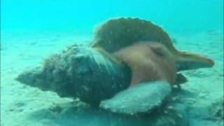 horse conch eating a fighting conch