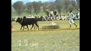 getlinkyoutube.com-Bull Race Jhelum ( Mehta Lohcer )  08/02/1990