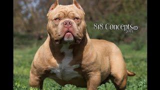 getlinkyoutube.com-AMERICAN BULLY معلومات عن كلب الاميريكان بولي