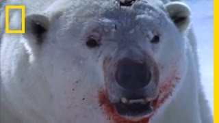 getlinkyoutube.com-Polar Bear vs. Ring Seal | National Geographic