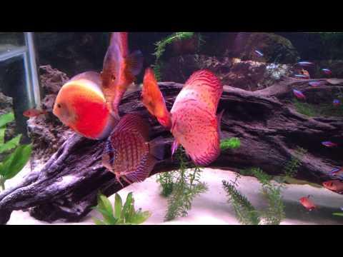 Peces Discos, Discus Fish HD, Discus Aquarium, Acuario de Discos HD, Acarigua Venezuela