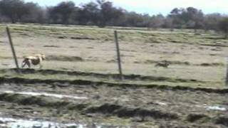 getlinkyoutube.com-caza de liebres con galgos parral-chile.3
