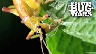 Leaf Tailed Mantis vs Sunburst Raspy Cricket | MONSTER BUG WARS
