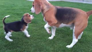 getlinkyoutube.com-Cute Dog Meets Little Puppy Sister For The First Time!!! Love At First Sight!