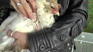 getlinkyoutube.com-Chicken Moulting Do's & Don'ts