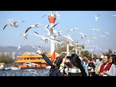 Home-bound black-headed gulls to leave Kunming