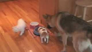 Un Chihuahua defiende su comida frente a un pastor alem�n