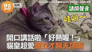 開口講話啦「好熱喔!」 貓皇超愛跟貓奴聊天頂嘴