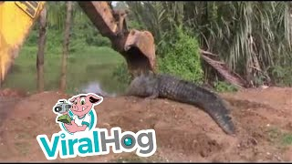 getlinkyoutube.com-Giant Crocodile in Sri Lanka Rescued and Released
