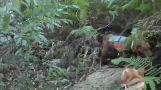 120kgのイノシシを止めて撃ち獲らせた、幻のビーグル・中島犬・鈴木紀州犬・三重地犬 20141206実猟