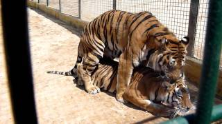 getlinkyoutube.com-Tigres Apareandose.