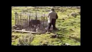 getlinkyoutube.com-Wild Pig Trapping