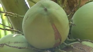 getlinkyoutube.com-เกษตรสร้างชาติ : มะพร้าวก้นจีบ ให้ผลผลิตดีหน้าแล้ง | สำนักข่าวไทย อสมท