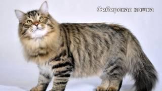 getlinkyoutube.com-Самые большие породы домашних кошек