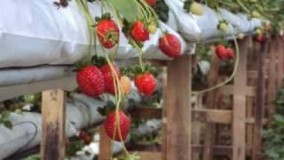 getlinkyoutube.com-Trip To Strawberry farm