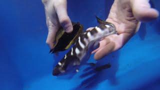getlinkyoutube.com-Zebra shark baby born at The Deep
