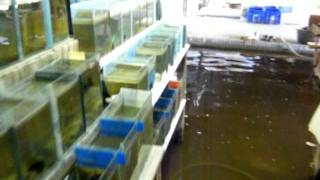 getlinkyoutube.com-Betta farm under water