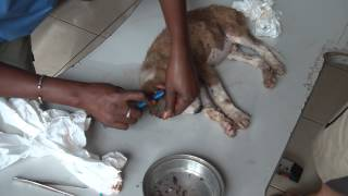 "getlinkyoutube.com-""Tyler"" - Tick weeks in The Gambia"